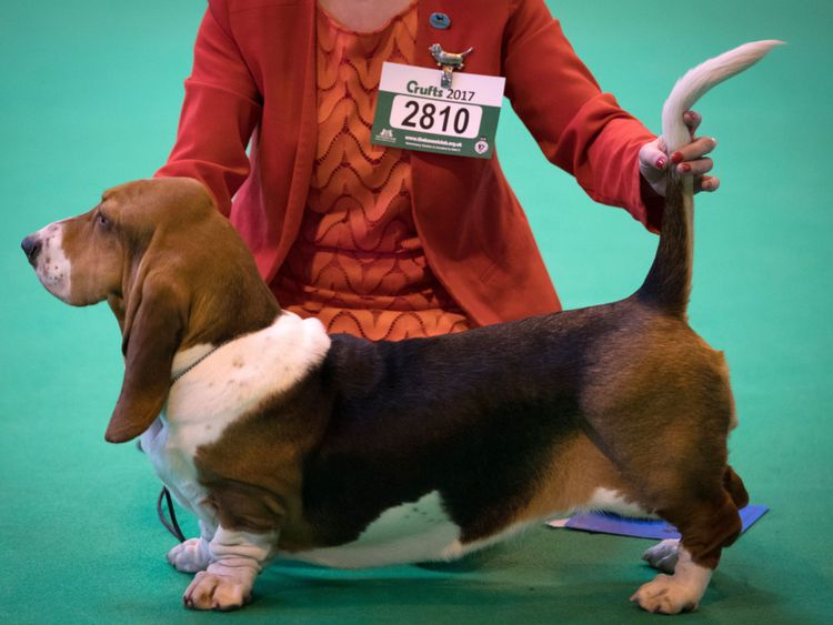 A Bassett Hound is judged at the Crufts Dog Show in 2017, held at the NEC in Birmingham